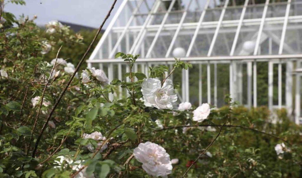 Rosebusk foran et greenhouse